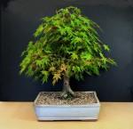 Biji Bonsai Bigleaf Maple