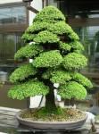 Biji Bonsai Japanese Cedar