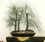 Biji Bonsai River She-Oak