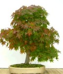Biji Bonsai Pere David's Maple