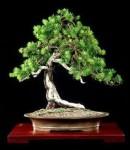 Biji Bonsai Jack Pine