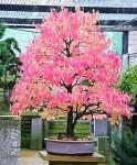 Biji Bonsai Katsura Tree
