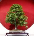 Biji Bonsai Mountain Maple