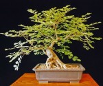 Biji Bonsai Korean Mountain Ash