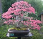 Biji Bonsai Sakura