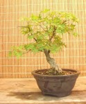 Biji Bonsai Shantung Maple
