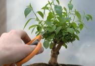 pemangkasan bonsai