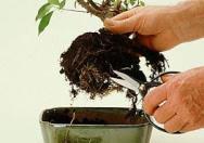 akar bonsai