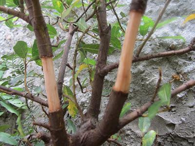 Batang Bonsai