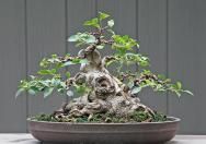 Berburu Bakaln Bonsai