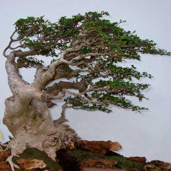 Bonsai Sarung Angin
