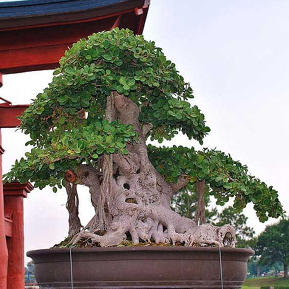 bonsai Takan