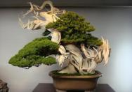 Bonsai dengan kesan tua