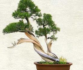 Membentuk Bonsai