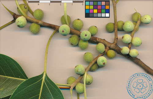 Buah Ficus Amplissima