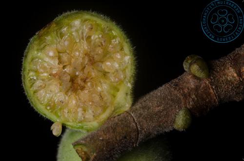 Daging Buah Ficus Amplissima