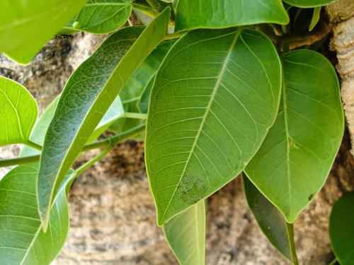 Bentuk Daun Ficus Amplissima