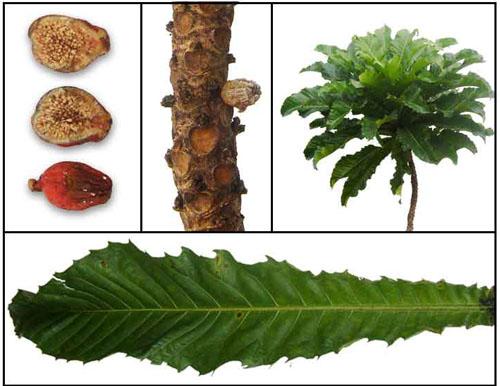 Bagian Tanaman Ficus Pseudopalma