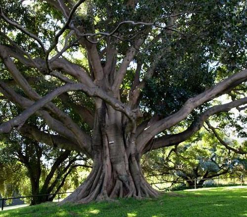 Batang Pohon Ficus Oblique