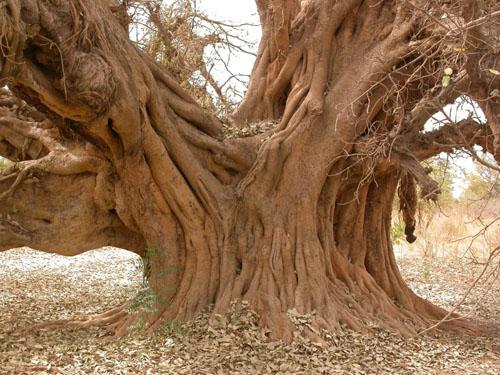 Batang Pohon Ficus Lutea
