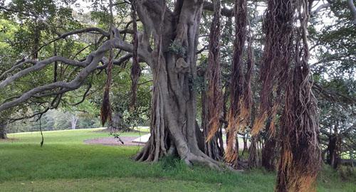 Batang Pohon Ficus Rubiginosa