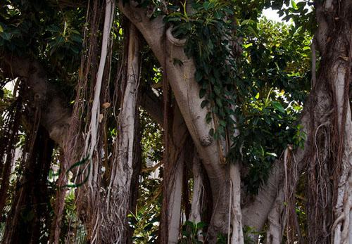 Batang Pohon Karet Kebo Ficus Elastica