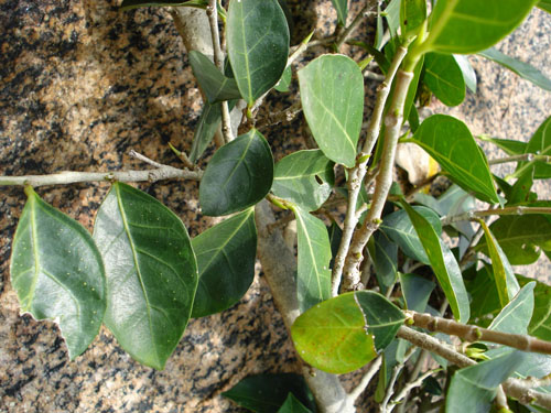 Bentuk Daun Ficus Tinctoria