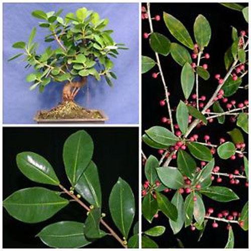 Bonsai Ficus Americana