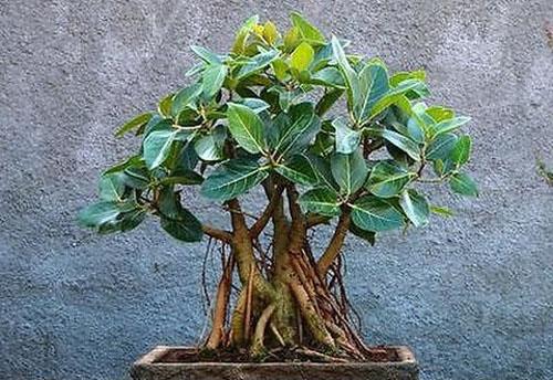 Bonsai Ficus Benghalensis