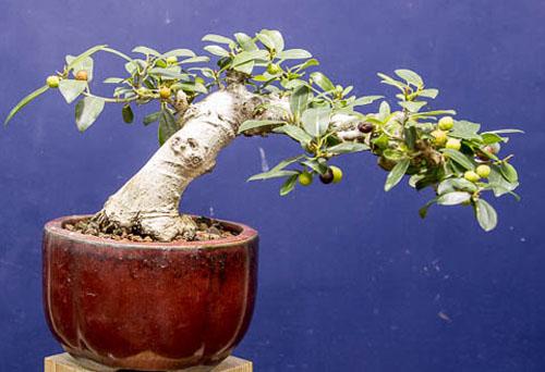 Bonsai Ficus Burtt-davyi