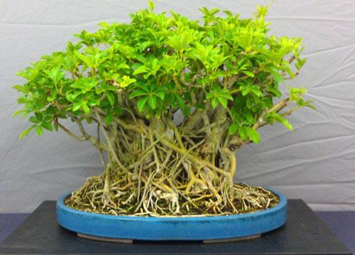 Bonsai Ficus Macrophylla
