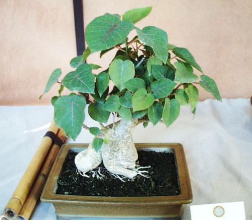 Bonsai Ficus Petiolaris