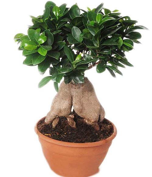 Bonsai Pohon Kimeng Ficus Microcarpa