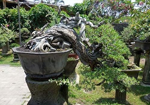Bonsai Pohon Loa Ficus Racemosa