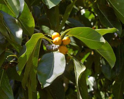 Buah Ficus Altissima