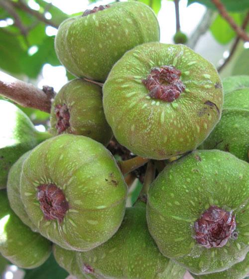 Buah Ficus Auriculata