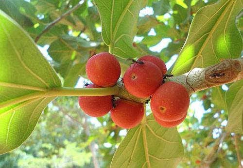 Buah Ficus Benghalensis