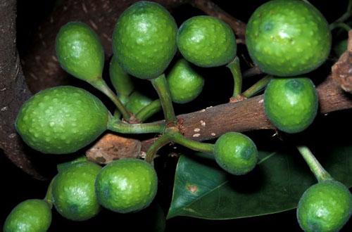 Buah Ficus Bizanae
