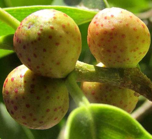 Buah Ficus Citrifolia