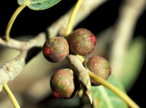 Buah Ficus Cordata