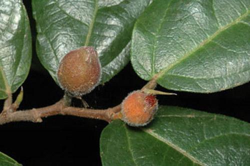 Buah Ficus Coronata