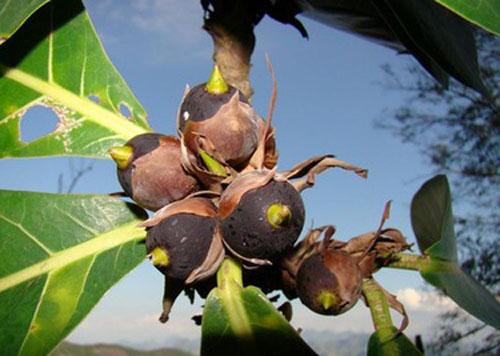 Buah Ficus Cyclophylla