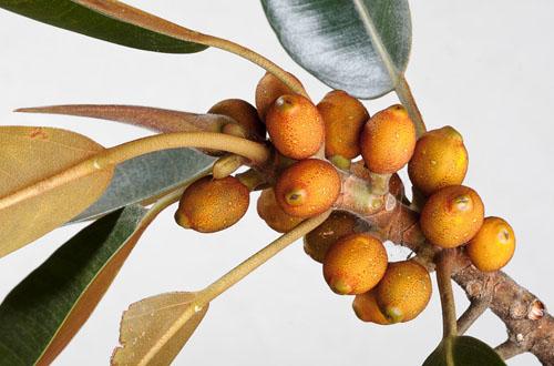 Buah Ficus Destruens