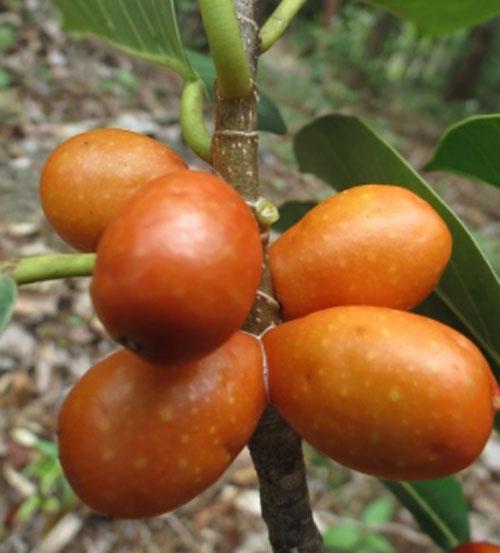 Buah Ficus Drupacea