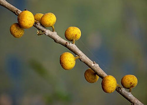 Buah Ficus Exasperata
