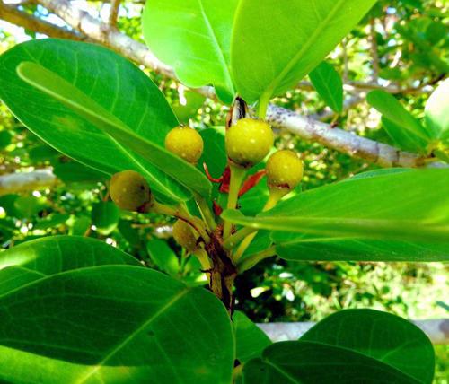 Buah Ficus Faulkneriana