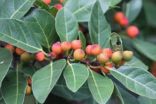 Buah Ficus Fraseri