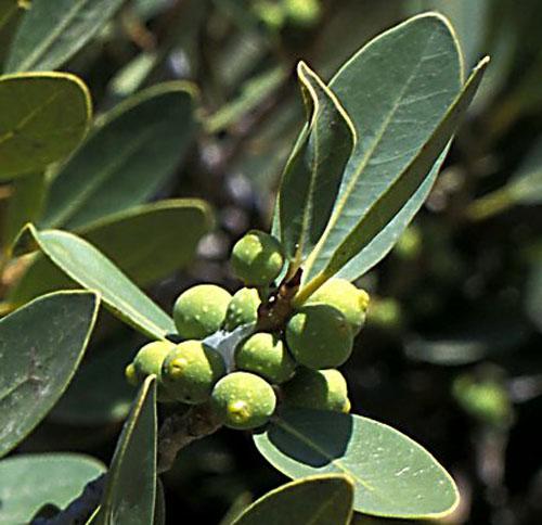 Buah Ficus Ilicina