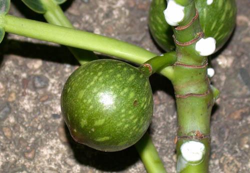 Buah Ficus Insipida