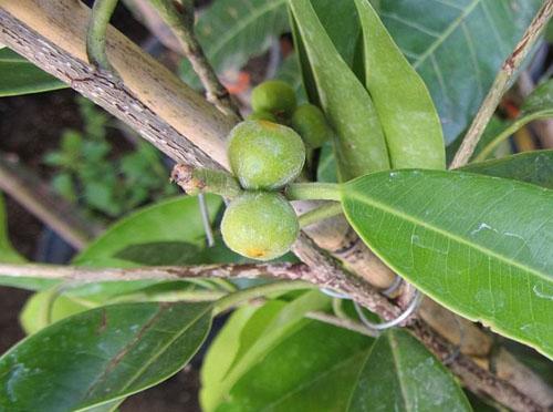 Buah Ficus Maclellandii